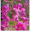 Fireweed flower