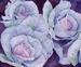 Cabbage Petals Unfurled