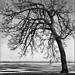 Wind Swept Oak